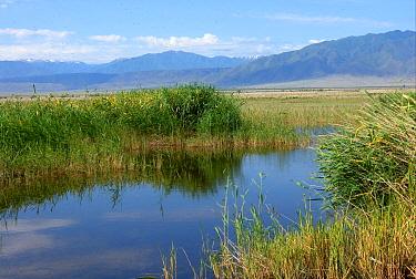 View of midge infested reedbed at edge of saltlake, Eastern Tien Shan Mountains in distance, Lake Alakol, Kazakhstan, june  -  Neil Bowman/ FLPA