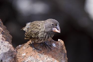 Galapagos Large cactus ground Finch on Genovesa Island  -  David Hosking/ FLPA
