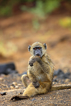 Chacma Baboon (Papio ursinus) young, licking rain from wet hair, sitting on ground, Kruger National Park, South Africa  -  Jurgen and Christine Sohns/ FLPA