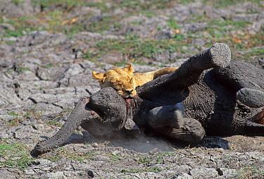 African Lion (Panthera leo) adult female, killing three-year old African Elephant (Loxodonta africana) calf, Okavango, Botswana  -  Michael Callan/ FLPA