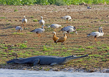 Gharial (Gavialis gangeticus) adult, resting on shore, with Bar-headed Geese and Ruddy Shelduck, Chambal River, Rajasthan, India  -  Harri Taavetti/ FLPA