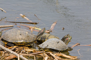 Red-eared Slider (Trachemys scripta elegans) adults, in city water treatment facility, Village Creek Drying Beds, Fort Worth, Texas  -  Daphne Kinzler/ FLPA