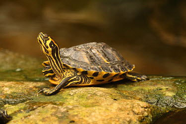Yellow-bellied Slider (Trachemys scripta scripta) adult, resting on rock, captive  -  Michael Rose/ FLPA