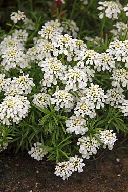 Edging Candytuft (Iberis sempervirens) flowering, in garden, Germany  -  Jurgen and Christine Sohns/ FLPA