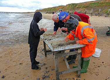 Happisburgh archaeological dig, people sorting for finds on beach, at oldest human site north of Alps, Happisburgh, Norfolk, England, june  -  Neil Bowman/ FLPA