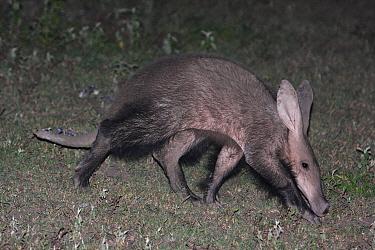Aardvark (Orycteropus afer) sub-adult, foraging at night, Nduthu, Serengeti, Tanzania  -  Philip Perry/ FLPA