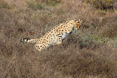 Serval (Leptailurus serval) adult, hunting, jumping on rodent, Shamwari Game Lodge, Eastern Cape, South Africa  -  Philip Perry/ FLPA