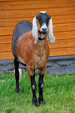 Domestic Goat, Anglo-Nubian, adult, standing beside stable, West Sussex, England  -  Roger Wilmshurst/ FLPA