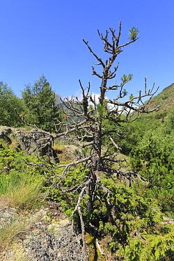 Spirke (Pinus uncinata) habit, natural bonzai growing from boulder, Pyrenees-Orientales, France  -  Richard Becker/ FLPA