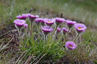 Oneflower Fleabane (Erigeron uniflorus) flowering, in mountains at m, Pyrenees, Port d'Envalira, Andorra  -  Richard Becker/ FLPA