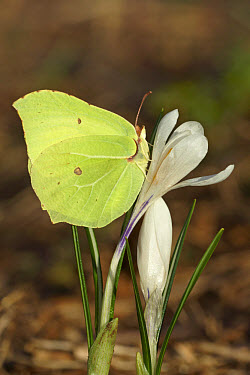 Brimstone (Gonepteryx rhamni) adult female, resting on Crocus (Crocus albiflorus) flower, Alps, Italy  -  Gianpiero Ferrari/ FLPA