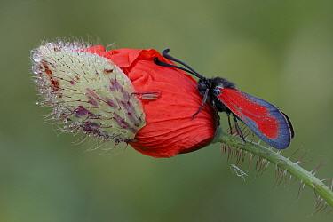 Transparent Burnet (Zygaena purpuralis) adult, resting on Corn Poppy (Papaver rhoeas) opening flowerbud at dawn, Abruzzo, Apennines, Italy  -  Gianpiero Ferrari/ FLPA
