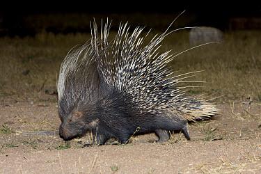 Cape Porcupine (Hystrix africaeaustralis) adult, walking in desert at night, Okonjima, Namibia  -  Chris Mattison/ FLPA