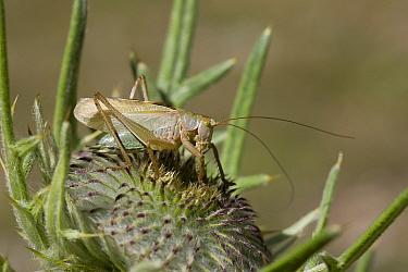 Upland Green Bush-cricket (Tettigonia cantans) adult, resting on thistle, Vercors, Alps, France  -  Robin Chittenden/ FLPA