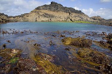 Sea Thong (Himanthalia elongata) and Kelp (Laminaria digitata) in lowtide rockpool habitat, Porth Mear, Cornwall, England  -  Andrew Bailey/ FLPA