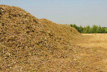 Biomass, tonne heap of harvested willow coppice, ready for transport to Drax Power Station, Yorkshire, England  -  John Eveson/ FLPA