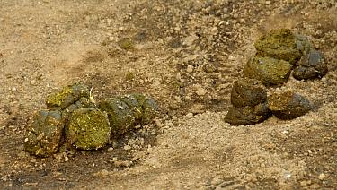 Red River Hog (Potamochoerus porcus) droppings, Central Africa  -  Chris and Tilde Stuart/ FLPA