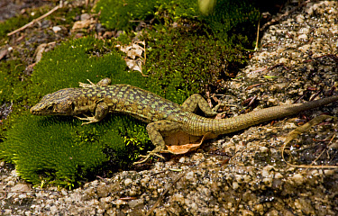 Bedriaga's Rock Lizard (Archaeolacerta bedriagae) adult, resting on damp granite rock in mountains, Corsica, France  -  Bob Gibbons/ FLPA