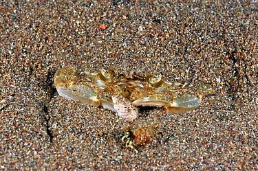 Harbor Crab (Liocarcinus depurator) adult, feeding on topshell, buried in muddy seabed, Torbay, Lyme Bay, Devon, England  -  Steve Trewhella/ FLPA