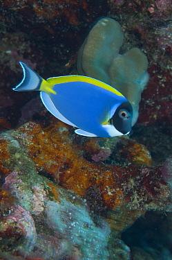 Powderblue Surgeonfish (Acanthurus leucosternon) adult, swimming over reef, Rhoda Beach dive site, Christmas Island, Australia  -  Colin Marshall/ FLPA