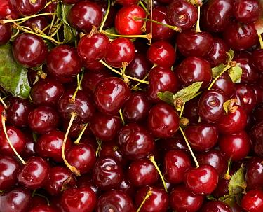 Sour Cherry (Prunus cerasus) 'Morello' cherries, picked fruit, Romania  -  Bob Gibbons/ FLPA