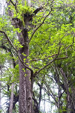 Stinging Tree (Dendrocnide sp) habit, in forest, Christmas Island, Australia  -  Colin Marshall/ FLPA