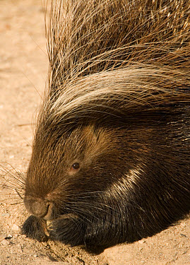 Cape Porcupine (Hystrix africaeaustralis) adult, feeding, hold food with front paws, Melton Wold, Northern Cape, South Africa  -  Chris and Tilde Stuart/ FLPA