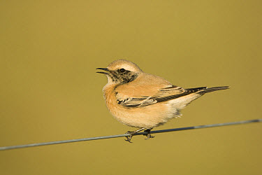 Desert Wheatear (Oenanthe deserti) immature male, first winter plumage, calling, perched on wire, Horsey, Norfolk, England  -  Robin Chittenden/ FLPA