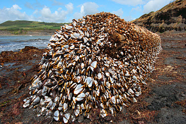 Duck Barnacle (Lepas anatifera) adults, mass attached to log, washed up on beach, Kimmeridge Bay, Dorset, England  -  Steve Trewhella/ FLPA