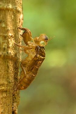 Emerald Cicada (Cicadoidea) exuvium, empty nymphal skin, Khoa Sok, Thailand  -  Robin Chittenden/ FLPA