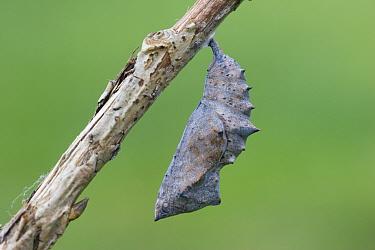 Yellow-legged Tortoiseshell (Nymphalis xanthomelas) pupa, attached to stem, Hungary  -  Robin Chittenden/ FLPA