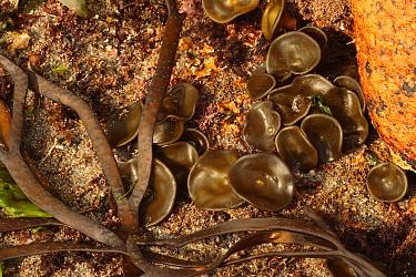 Sea Thong (Himanthalia elongata) frond 'buttons', England  -  Steve Trewhella/ FLPA