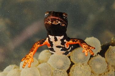 Northern Spectacled Salamander (Salamandrina perspicillata) adult, with eggs underwater, Italy  -  Fabio Pupin/ FLPA