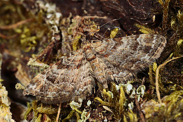 Double-striped Pug (Gymnoscelis rufifasciata) adult, Powys, Wales  -  Richard Becker/ FLPA