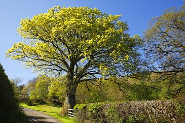 Sessile Oak (Quercus petraea) habit, growing in roadside hedgerow, Powys, Wales, early spring  -  Richard Becker/ FLPA