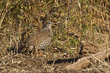 Natal Francolin, Botswana  -  David Hosking/ FLPA