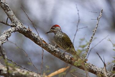 Goldentailed Woodpecker male on tree, Kruger Nat Pk South Africa  -  David Hosking/ FLPA