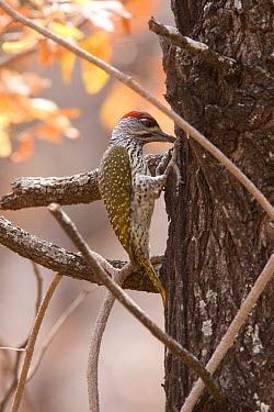 Male Goldentailed Woodpecker, Kruger South Africa  -  David Hosking/ FLPA