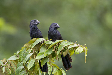 Groove-billed Ani (Crotophaga sulcirostris) adult pair, perched on branch, Cayo District, Belize  -  Cedric Jacquet/ FLPA