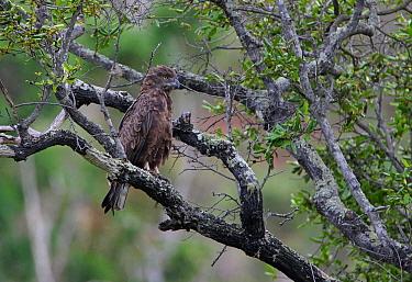 Brown Snake-eagle (Circaetus cinereus) adult, perched in tree, Mwaluganje Elephant Reserve, Kenya, november  -  Neil Bowman/ FLPA
