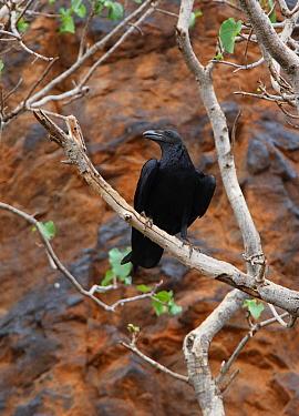 Fan-tailed Raven (Corvus rhipidurus) adult, perched in tree on cliff, Lake Baringo, Great Rift Valley, Kenya, november  -  Neil Bowman/ FLPA