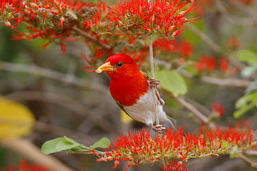 Red-headed Weaver (Anaplectes rubriceps) adult male, breeding plumage, feeding on flame climber vine, South Africa  -  Martin Withers/ FLPA