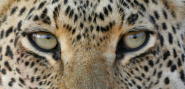 African Leopard (Panthera pardus pardus) adult, close-up of eyes, South Africa  -  Martin Withers/ FLPA
