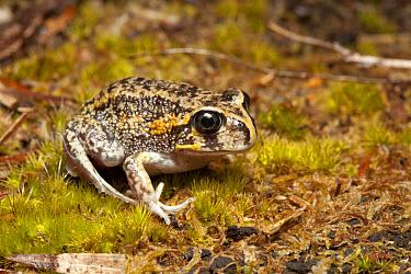 Moaning Frog (Heleioporus eyrei) adult, sitting on moss, Walpole, Western Australia, Australia  -  Chris Mattison/ FLPA
