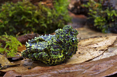 Mossy Frog (Theloderma corticale) adult, feigning death  -  Chris Mattison/ FLPA