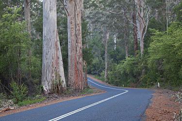 Karri (Eucalyptus diversicolor) mature trees, growing beside road, Vasse Highway, near Pemberton, Western Australia, Australia  -  Chris Mattison/ FLPA