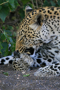 Leopard grooming itself  -  Mark Hosking/ FLPA