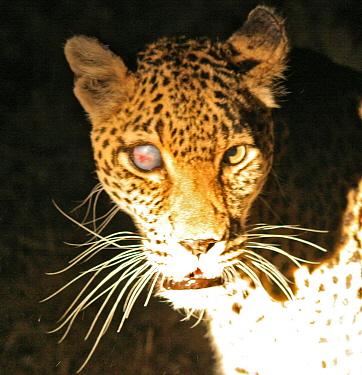 Leopard with blinded eye  -  Mark Hosking/ FLPA