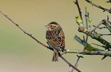Little Bunting (Emberiza pusilla) adult, vagrant, perched on twig, Anglesey, Wales  -  Steve Young/ FLPA
