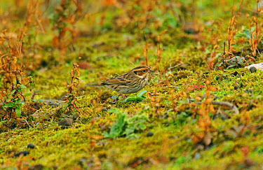 Little Bunting (Emberiza pusilla) adult, vagrant, standing on mossy ground, Merseyside, England  -  Steve Young/ FLPA